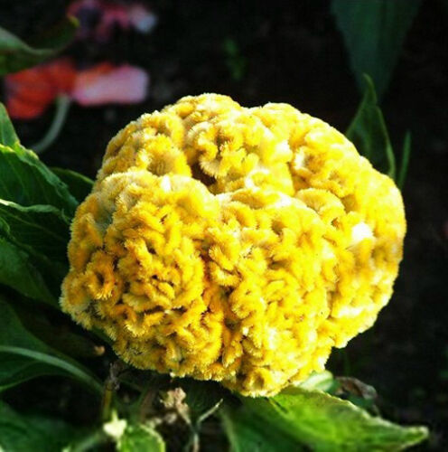400 Giant Yellow Cockscomb Seeds Celosia Cristata Garden Flowers S037