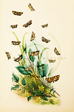 """Humphrey's' """"British Butterflies"""" - Plate 49 - Hand-Colored Lithograph - 1841"""