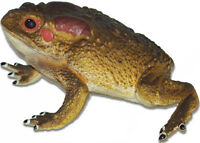 Aaa 12815 Large Toad Frog Realistic Toy Model Figurine Replica Prop - Nip