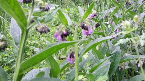 Comfrey,Bocking 14, ~Beyond organic~1 Crown Bare Root Plant Symphytum uplandicum