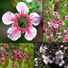 Teebaum•Südsee-Myrte • 250+ Samen/seeds • Leptospermum scoparium•Manuka•Tea Tree