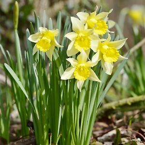 25 Wild Daffodils Lent Lily Lobularis Narcissus Spring Flowering