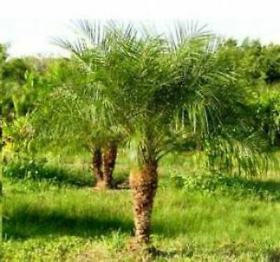 PYGMY DATE PALM 10 SEEDS A BEAUTIFUL SMALL PALM TREE