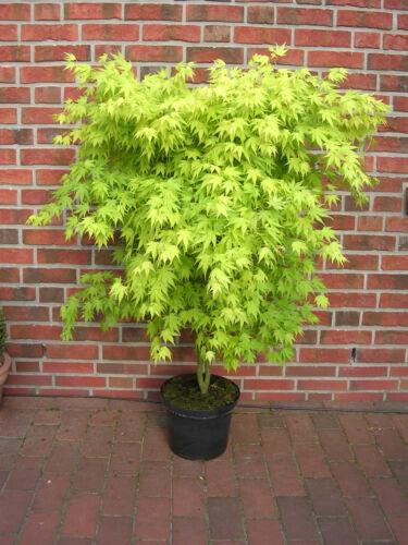 Dünger ! Höhe: 130-140 cm Acer palmatum /'Orange Dream/' Fächerahorn Ahorn