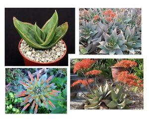 10 Semillas de Aloe Striata(Semi, Sementi, Seeds, Korn, Samen, Cactus)