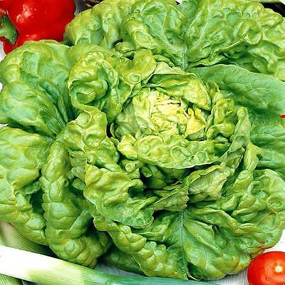 VEGETABLE  LETTUCE ALL YEAR ROUND  4500 FINEST SEEDS