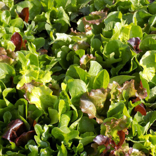 MICROGREEN MIX 300 Seeds ALL SEASON vegetable GOURMET BABY LEAF salad sandwich