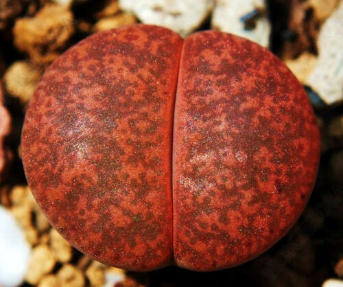 Lithops lesliei Warrenton living stone Rock Stone CACTUS Cactus Graines 50 graines