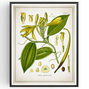 Vanilla Pod Botanical Print Orchid Decor Vintage Wall Art Picture Poster Gift Ebay