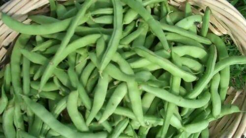 STRIKE BUSH GREEN 200 Heirloom GLUTEN FREE  FREE Shipping Bean Non-gmo