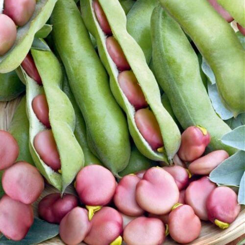 Rose Beaned Fève Karmazyn Inhabituel Rose Haricots Heavy Cropper 50 fresh seeds