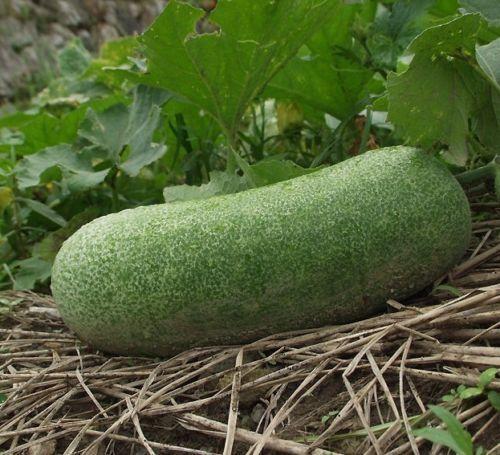 i WACHS-KÜRBIS !i Gartenpflanze Kletterpflanze essbare Frucht gesundes Gemüse.