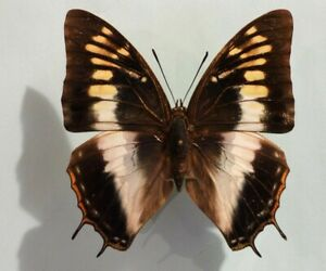 entomology,nymphalidae,charaxes plantroui♀ from guinea **rare** beautiful form