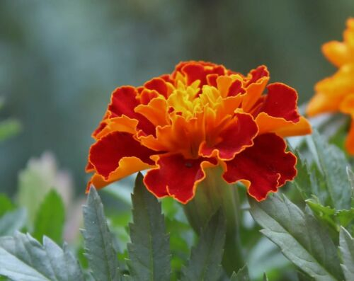 ❁ Tagetes ❁ Studentenblume ✿ Blumensamen Blumen Saat ❀Gartenblumen Ƹ̵̡Ӝ̵̨̄Ʒ