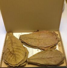 ~60 Stück (=120 Gramm) 20-25cm - Seemandelbaumblätter Catappa Leaves TopQualität
