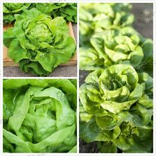 2000 Butter Lettuce Seeds  Open Pollinated Yard Vegetable Free Shipping 1