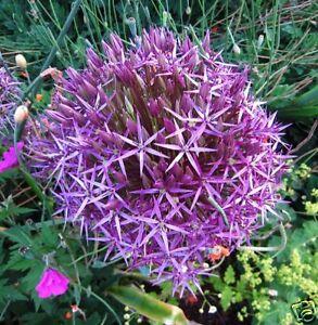 35 Rare Huge Purple Allium Christophii 12 Basketball Fireworks