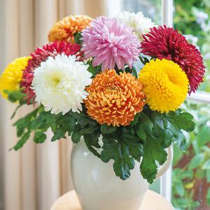 Chrysanthemum Flower Fireworks Shape Mix Coloured Bonsai Garden ...