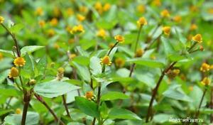 acmella  100 SEED TOOTHACHE PLANT Acmella oleracea ELECTRIC DAISY PARACRESS ...