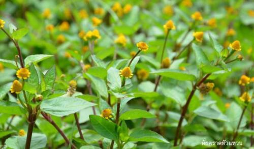 100 SEED TOOTHACHE PLANT Acmella oleracea  ELECTRIC DAISY  PARACRESS