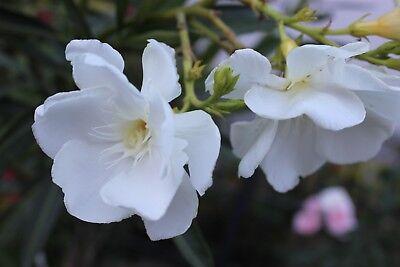 3 Oleander Stecklinge Porto Duft weiß gefüllt mit Riesenblüten ca 7-8 cm