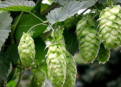 Hops Plant Humulus Lupulus - 250 Seeds - The Brewing beer plant!