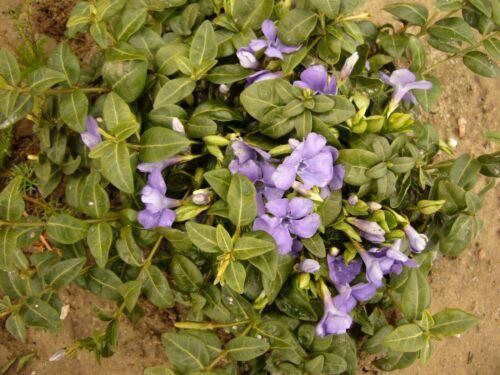 winterhart Jungpflanzen Immergrün blau 50 Stck Bodendeckerpflanze Vinca