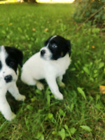 Border Collie Lab Adopt Dogs Puppies Locally In Canada Kijiji Classifieds