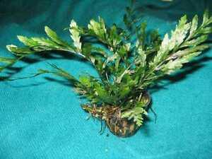 Bolbitis-Kongo-Wasserfarn-Wasserpflanze