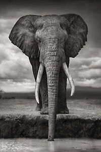 African elephant wild animal poster 12x18 inch fabric African elephant home decor