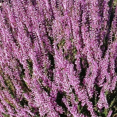 Calluna Vulgaris Seed,Scotch heather, an evergreen ground cover or low shrub.