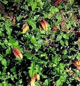 12-Red-Shrimp-Plant-Cuttings-6-8-034-Stems-Not-Rooted-Pachystachys-lutea