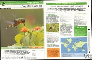 "Coquette huppe-col Lophornis ornatus - Tufted Coquette FICHE OISEAU BIRD - France - PORT GRATUIT A PARTIR DE 4 OBJETS BUY 4 ITEMS AND WORLDWIDE SHIPPING IS FREE EXCEPT USA, CANADA, AMERICA ONLY TRACKING MAIL FICHE TECHNIQUE, SPECIFICATION SHEET PAPIER GLACÉ, GLAZED PAPER RECTO-VERSO FORMAT 35 CM X 23,5 CM SIZE : 12.06"" X 8.28""  - France"