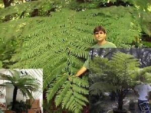 Schwarzer-Baumfarn-Pflanze-groesste-Farnblaetter-der-Welt-immergruen-schnellwuechsig