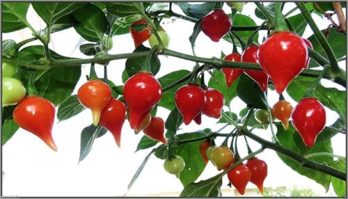Hot Chili Pepper INCA RED DROP High Quality- From 2018 10 Vegetable Seeds