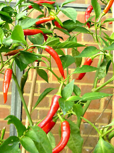 Details about Thai Dragon Chilli Chili Chile Pepper Seeds Extremley HOT
