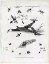 Insekten-Diptera-Entomologie Kupferstich 1813