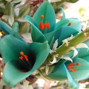 Amazing, rare TURQUOISE Puya! - Spectacular Bromeliad - Genuine seeds