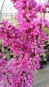 Cercis-chinensis-Avondale-Judasbaum-60-70cm-pinker-Fruehjahrsblueher