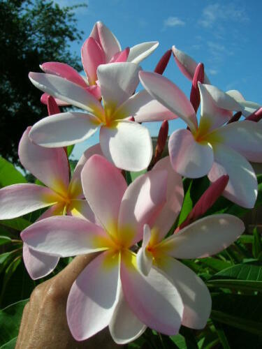 Fall Special Two 2 Seeds Package Stripe Plumeria Cutting 7-10 Mature Seed