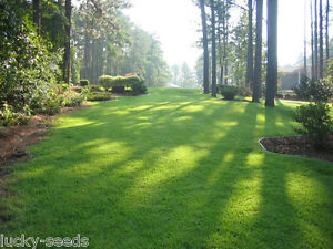 Details About On Backorder Zenith Zoysia Gr Seed 100 Pure 5 Lbs