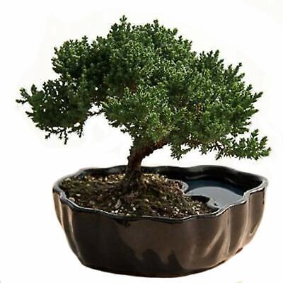 Juniper Bonsai Live Houseplant Tree Plant Indoor Garden Yard Home Ebay