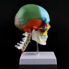 11 Colored Human Anatomical Anatomy Skeleton Model With Cervical Vertebra