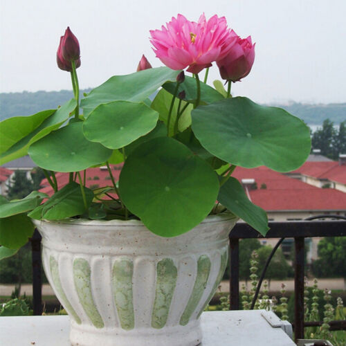 10Pcs Lotus Nymphaea Asian Water Lily Pad Flower Pond Seeds potted flowers VG
