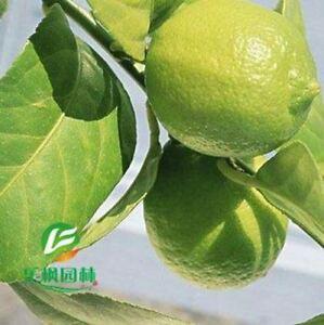 Cheap-100-pure-perfume-seedless-lemon-tree-a-compensable-10-seeds-pack