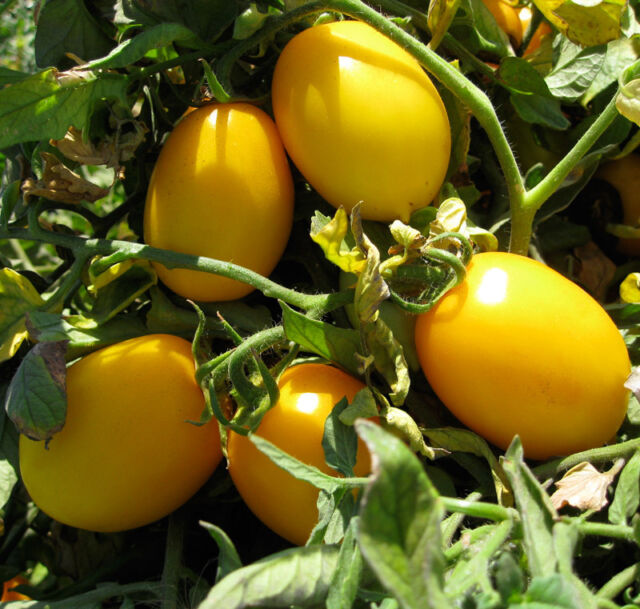 VEGETABLE TOMATO GOLD ROMA 100 FINEST SEEDS