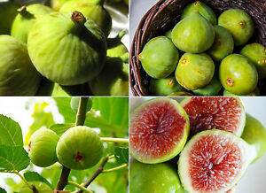 100-Sweet-Honey-White-Big-FIG-tree-seeds-Fragrant-White-2-crops-100-seeds