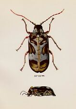 Vintage BEETLE Print Neat Beetle Art Gallery Wall Art Insect Print 795
