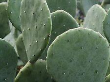 6 LARGE Spineless Prickly Pear Cactus Pads VERY Hardy Opuntia Cacanapa Ellisiana