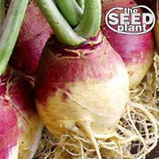 Amer. Purple Top Rutabaga Turnip Seeds - 500 SEEDS -  SAME DAY SHIPPING